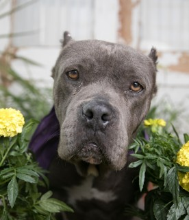 Hennessy angel city pit bulls los angeles dog rescue hennessy has been adopted her adopters instantly fell in love with her at their meet and greet and knew that she would be the perfect addition to their m4hsunfo